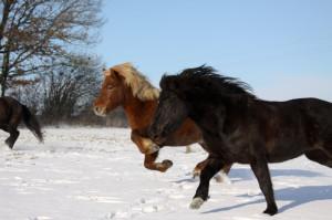 Schneepferde