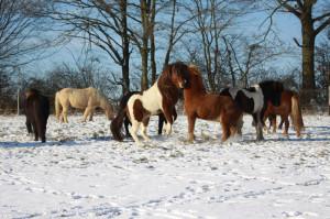 Schneepferde2